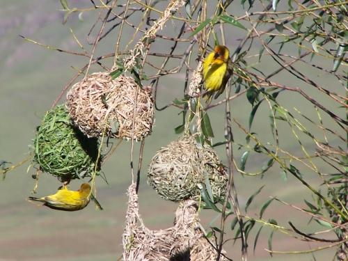 Cape weaver birds, Lesotho